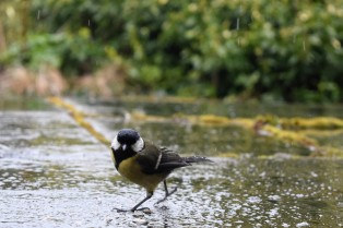 Rain dance? For a bit of food I'll oblige... great tit moment!