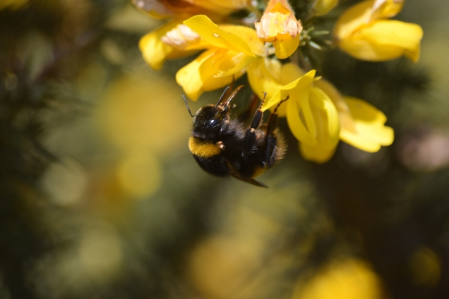 Bumblebee on gorse... spring, or what?
