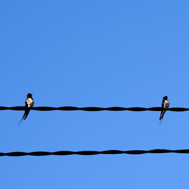 Friends from afar... swallows. Where may they come from?
