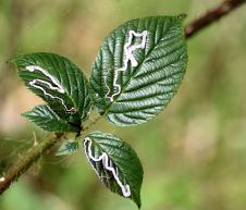 Irish insects make Celtic knots on leaves? Maybe... maybe knot!
