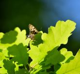 Speckled Wood on oak leaves... summer? Maybe!