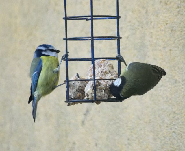 Blue (left) and great tit sharing the bird feeder...