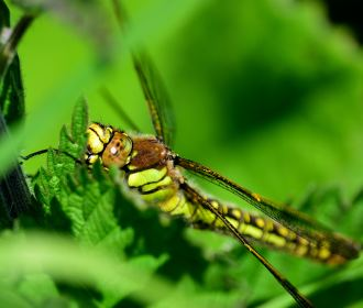 Hello big eyes! Dragonfly in the nettles... summer has arrived!
