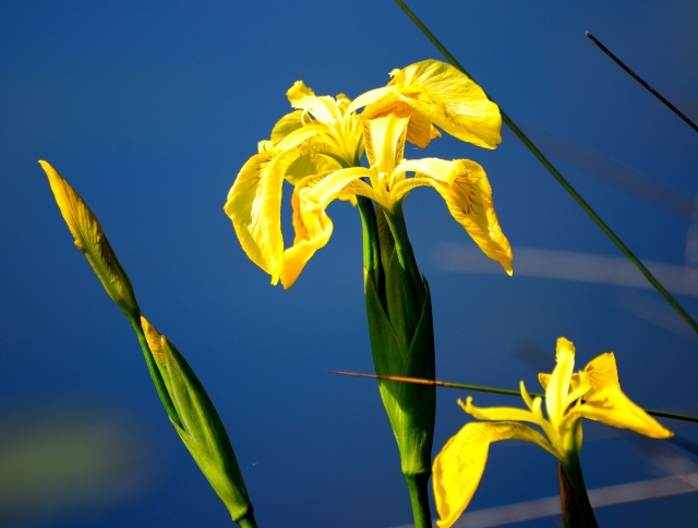 Yellow mellow - irises beside the canal