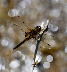 Resting dragonfly! I enjoy the background effect!