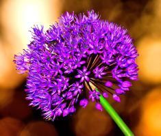 Pure - an allium backlit by sunset's golden glow...