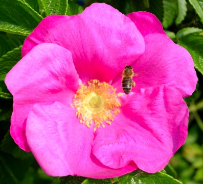 The bee doing a bit of pollinating! Happy days!!