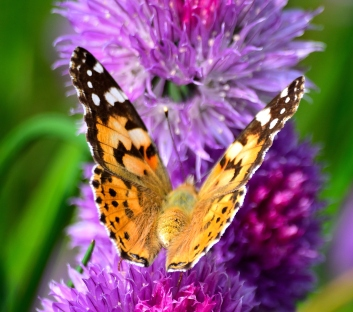 Painted Lady on chives... colour contrast of note!