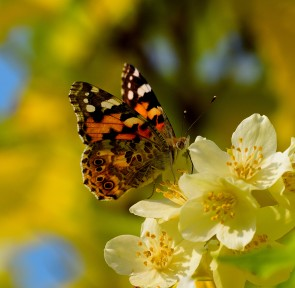 As pure as the driven .... mmmm .... summer light! A painted Lady feeding on