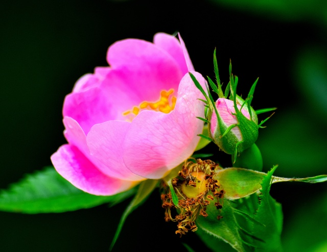 Wild Roses... so ephemeral!