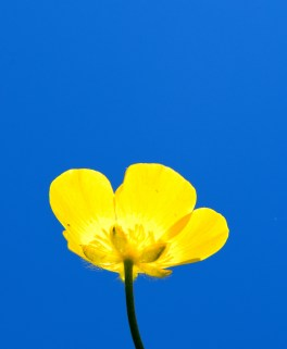 A Summer study in B Major... buttercup against the blue!!