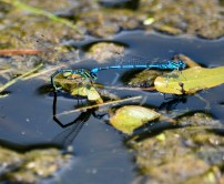 Damselfly details... it's in the reflection as well!