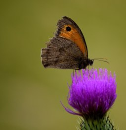 A frayed wing Meadow Brown... enjoying the summer bounty! Life's been good!