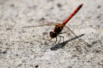 Suntanning dragonfly... cool!
