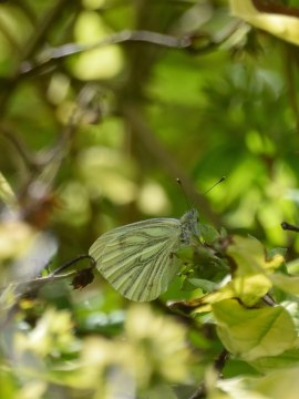Green Veined White... hiding in the hedge...