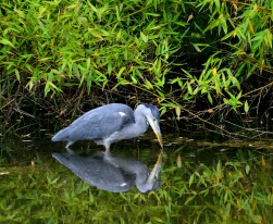 Our resident heron... catching newts...