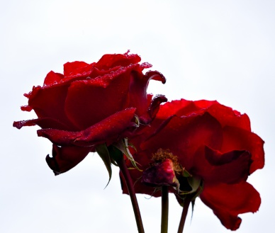Red roses against a grey sky... a moment of pleasure, even on a gloomy day!
