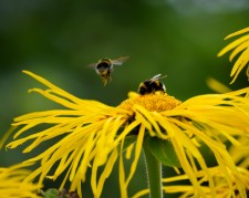 Bumblebees competing for feeding rights... the joys of summer!