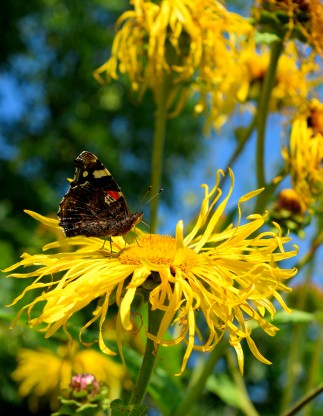 Summer bliss... a Red Admiral feeds contently.. amazing what the summer brings!