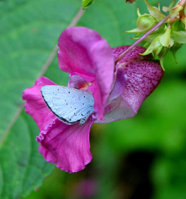 Rare sighting this year... Holly Blue out on a grey day... yes, they need to survive somehow!