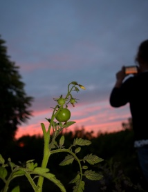 More tomatoes... and sundown photo snapping! Life? Fun? Who knows??