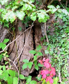 The old oak trunk... the bees have found a grand home!!!