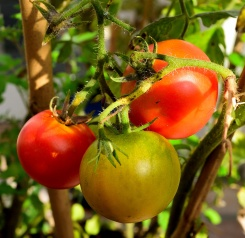 Tomatoes!!! Such FUN!!!