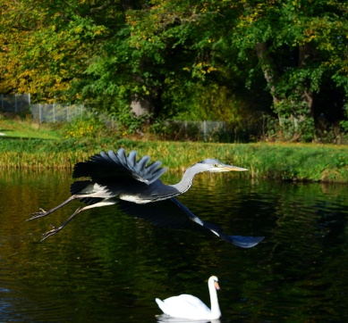 Heron and swan! Takeoff at the Royal Canal!