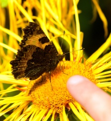 Look oupa... that Small Tortoiseshell doesn't want to open his wings!!