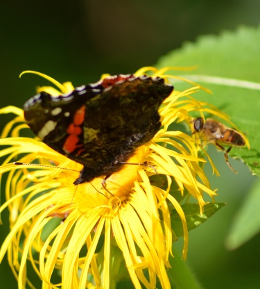 Red Admiral and friend!