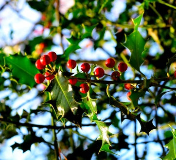 Green, red and blue... the colours of Christmas? Holly berries sure suggest the day isn't too far away!