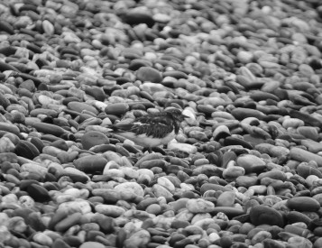 B&W - Pebble beach... spot me if you can!