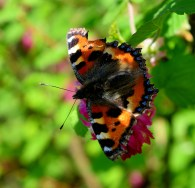 A Small Tortoiseshell... an early spring riser... a survivor of the winter hibernation...