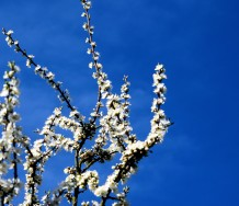 The hills are awash with swaths of Blackthorn...