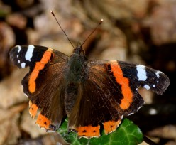 Red Admiral... my first one for the year. Taken 02 Apr 2017, Arklow, Co Wicklow, Ireland