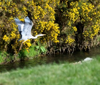 Gorse and green... with a heron joining for the fun!