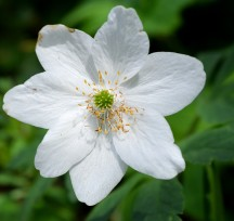 Wood anemone ... spring is here!