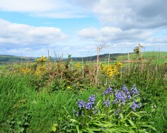 Bluebells and gorse... some Irish spring colours!! Co Wicklow, Ireland