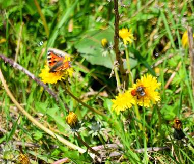 Small Tortoiseshell and bee... blurry but true