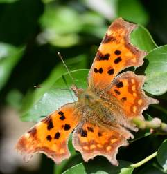 Happy spring setting... comma butterfly!