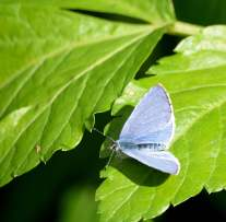 Holly Blue basking! Yes, on AFD2017