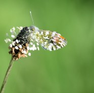 The Orange Tip giving just a hint that it's not a leaf!