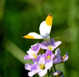 Orange Tip feeding...