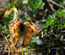 Painted Lady in action... fleeting!