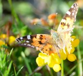 Blurry motion... the tattered traveller, aka the Painted Lady hops about on the food!