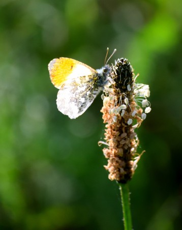 Orange Tip catching the last rays of the sun