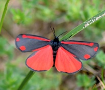 Rather bright... these Cinnabar Moths!