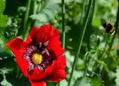 Poppies and bumblebees... focus, yes, I got it right for a change!