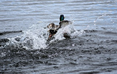 Mallards at play - Avoca River, Arklow, Co Wicklow, Ireland