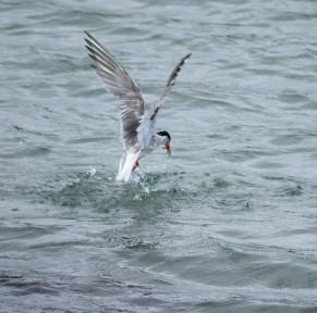 Lucky tern... landing its catch!! The envy of many!!